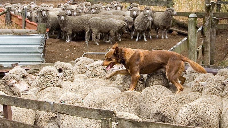 fci groep 1 - herdershonden en veedrijvers